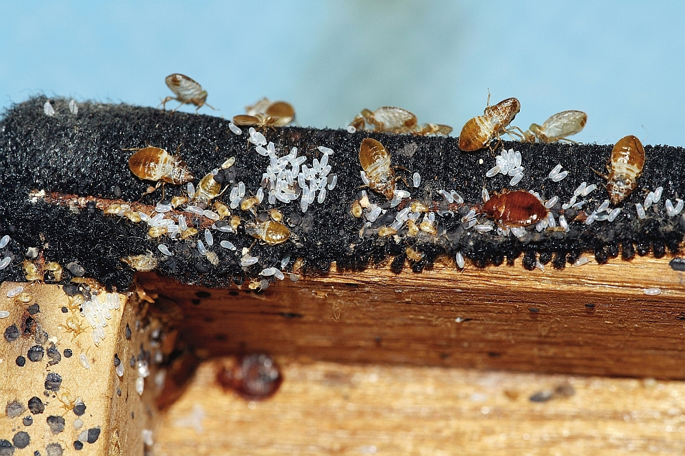 On the rise worlwide: Bed Bugs and Cimicosis | BJMP org